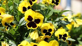 Yellow Pansies stock footage