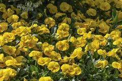 Yellow pansies displaying the one upper overlapping petal, the two side petals, and the single bottom petal. Flowers for landscape. Yellow pansies displaying the royalty free stock image