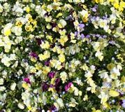 Yellow pansies field Stock Image
