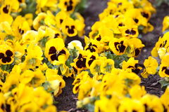 Yellow pansies in the garden as background Stock Photos