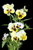 Yellow pansies for Halloween Royalty Free Stock Photography