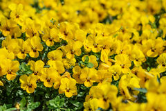 Yellow pansies meadow, spring or summer flower background Royalty Free Stock Images