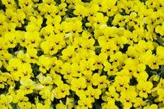 Yellow pansies stock photos