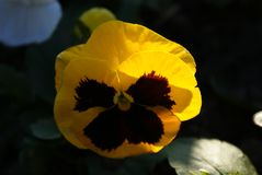 Yellow pansies in sunny day. Pretty colorful yellow pansies flowers are grow up  on the dark background. Sunny day. Sunbeam sunset on the leaves Stock Photography
