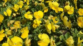 Yellow Pansies stock video footage
