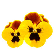 Yellow pansies winter pansy flower. Isolated on white Stock Image