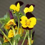 Yellow Pansy Stock Photo
