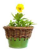 Yellow pansy. Flower in a small wicker pot Stock Photos