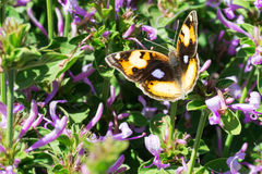 Yellow pansy butterfly in purple bush Royalty Free Stock Photos