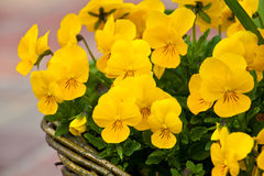 Yellow Pansy Royalty Free Stock Photos