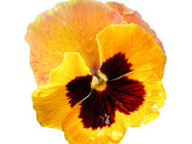 Yellow pansy flower Stock Photos