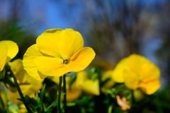 Yellow Pansy Flower with background of pansies and blue sky. Sel Stock Photos