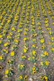 Yellow pansy flower Stock Photo