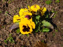 Yellow pansy flower after frost. royalty free stock photo
