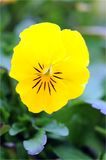 Yellow pansy flower Stock Image