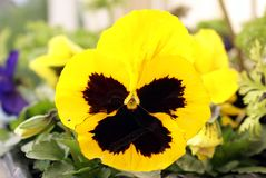 Yellow Pansy flower Royalty Free Stock Photography