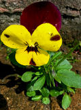 Yellow pansy flower Royalty Free Stock Images