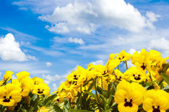 Yellow pansy flowers against blue sky royalty free stock photo