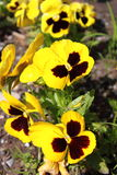 Yellow Pansy flowers Stock Photography