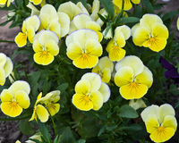 Yellow pansy flowers Stock Photos