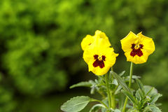 Yellow pansy flowers Royalty Free Stock Photography