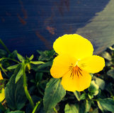Yellow pansy in garden Stock Images