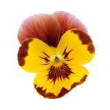 Yellow Pansy. Isolated on a white background with clipping path Royalty Free Stock Image
