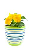 Yellow pansy's sprout in ceramic pot Royalty Free Stock Images