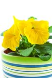 Yellow pansy's sprout in ceramic pot Royalty Free Stock Photo