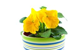 Yellow pansy's sprout in ceramic pot Royalty Free Stock Photos
