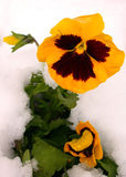 Yellow Pansy in Snow. This lovely yellow pansy still stands tall despite a barrage of snowfall the night before Royalty Free Stock Image