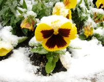 Yellow pansy under snow Royalty Free Stock Photography