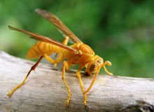 Yellow paper wasp. A paper wasp busy in collecting material for constrution of houe stock illustration