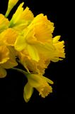 Yellow paperwhites on black Royalty Free Stock Photos