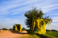 Yellow Parasitic Dodder on trees. Dodder is a very aggressive parasitic plant that has the potential of severely altering the composition and function of royalty free stock image