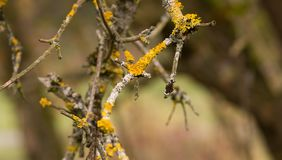 Yellow parasitic fungus on twig Stock Photography