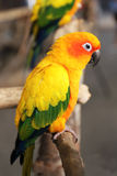 Yellow parrot Royalty Free Stock Photos