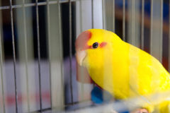Yellow parrot Royalty Free Stock Photography