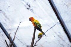 The yellow parrot bird sun conure. royalty free stock image