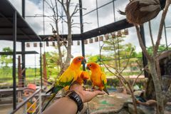 Yellow parrot bird, sun conure. Royalty Free Stock Images