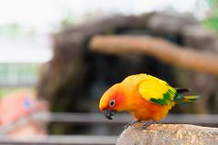 Yellow parrot bird, sun conure. stock photography