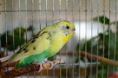 Yellow parrot in a cage royalty free stock photo