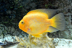 Yellow Parrot Cichlid Royalty Free Stock Images