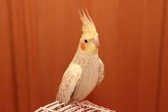 Yellow parrot corella Stock Image