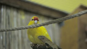 Yellow parrot gets off the rope to a tree stock video footage