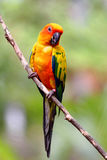 Yellow parrot macaw Stock Image