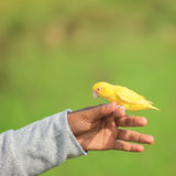 The yellow parrot Royalty Free Stock Photo