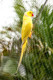 Yellow Parrot red beak. And neck stipe on the park net royalty free stock photo