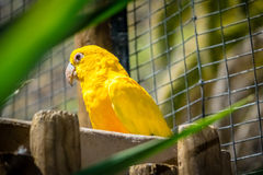 Yellow Parrot Stock Photos