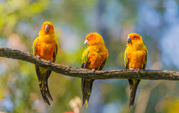 Yellow parrot. Some yellow parrots on the tree Stock Photos